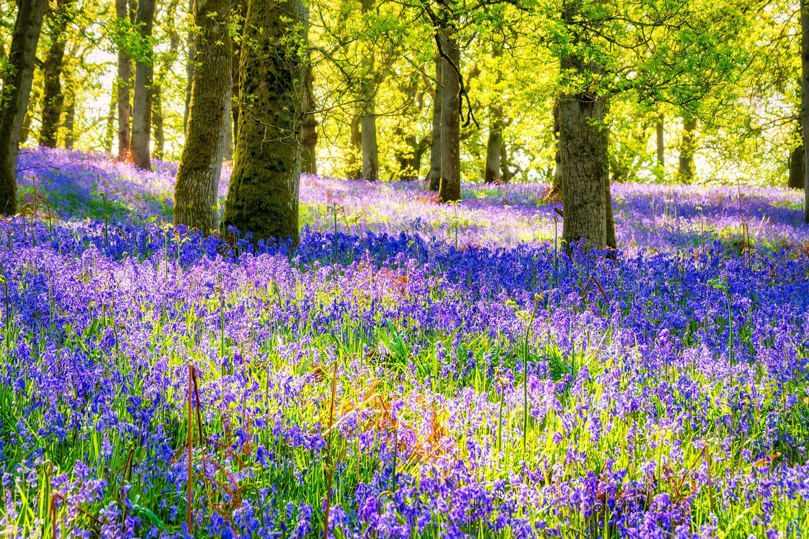 Bluebells – A magical journey through Kinclaven Woods, Scotland.