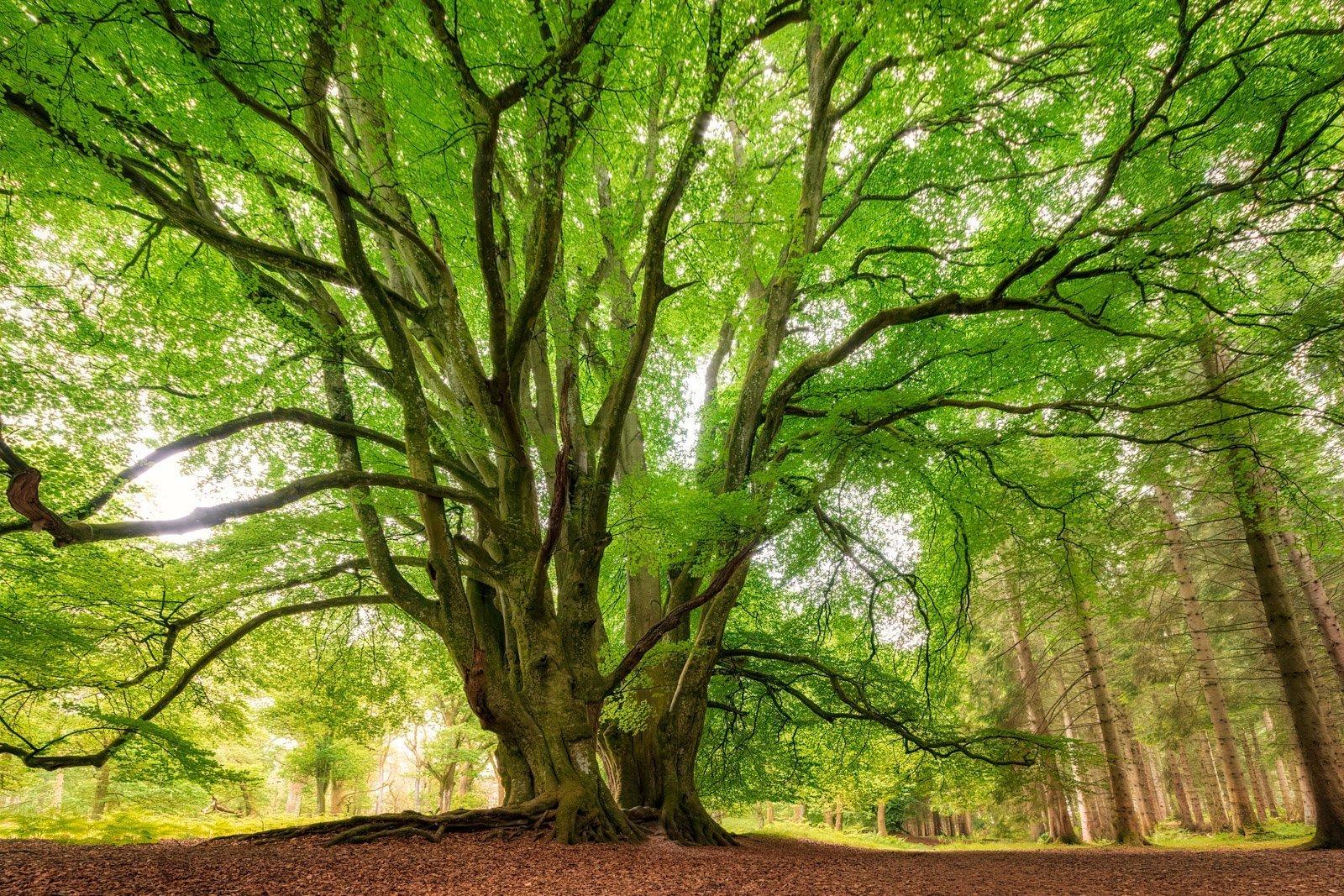Kinclaven Tree